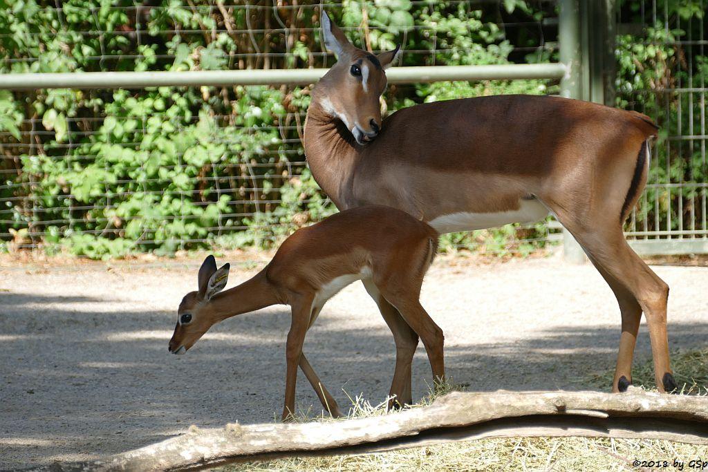 Gewöhnliche Impala (Schwarzfersen-Antilope), Jungtier geb. am 1.8.18