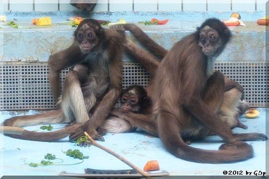 Goldstirnklammeraffe OCANA mit ihrem Baby (geb.19.10.12), ELLI und SHAKIRA