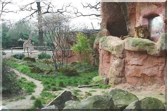 Mischlingslöwe MAX und Rothschild-Giraffe
