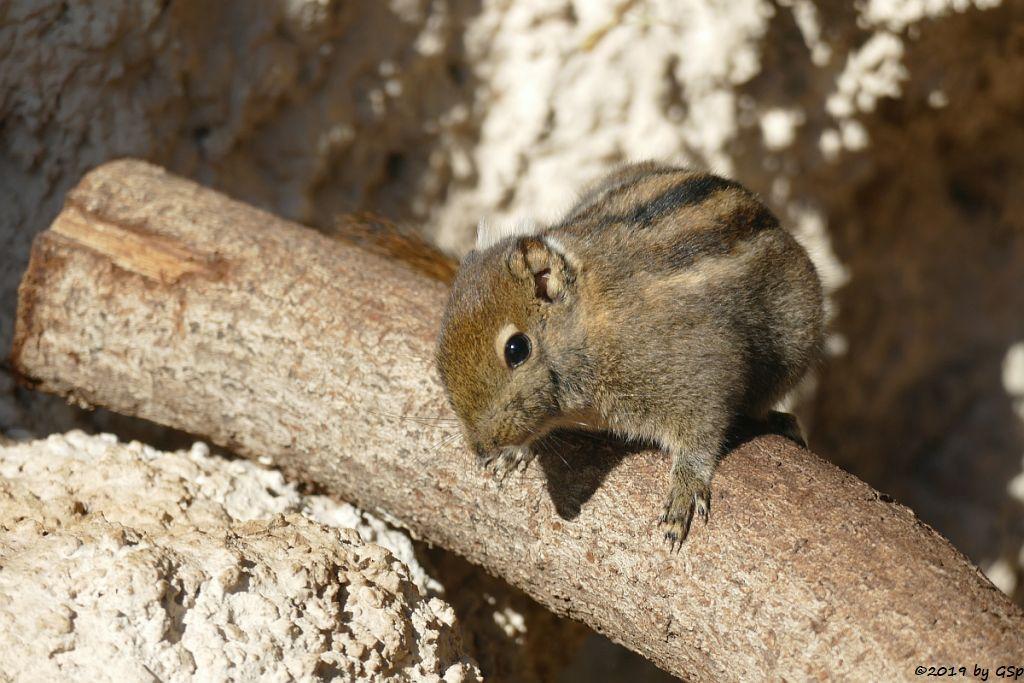 Chinesisches Zwergstreifenhörnchen (Chin.Baumhörnchen, Swinhoe-Zwergstr.....)Chinesisches Zwergstreifenhörnchen (Chin.Baumhörnchen, Swinhoe-Zwergstr.....)