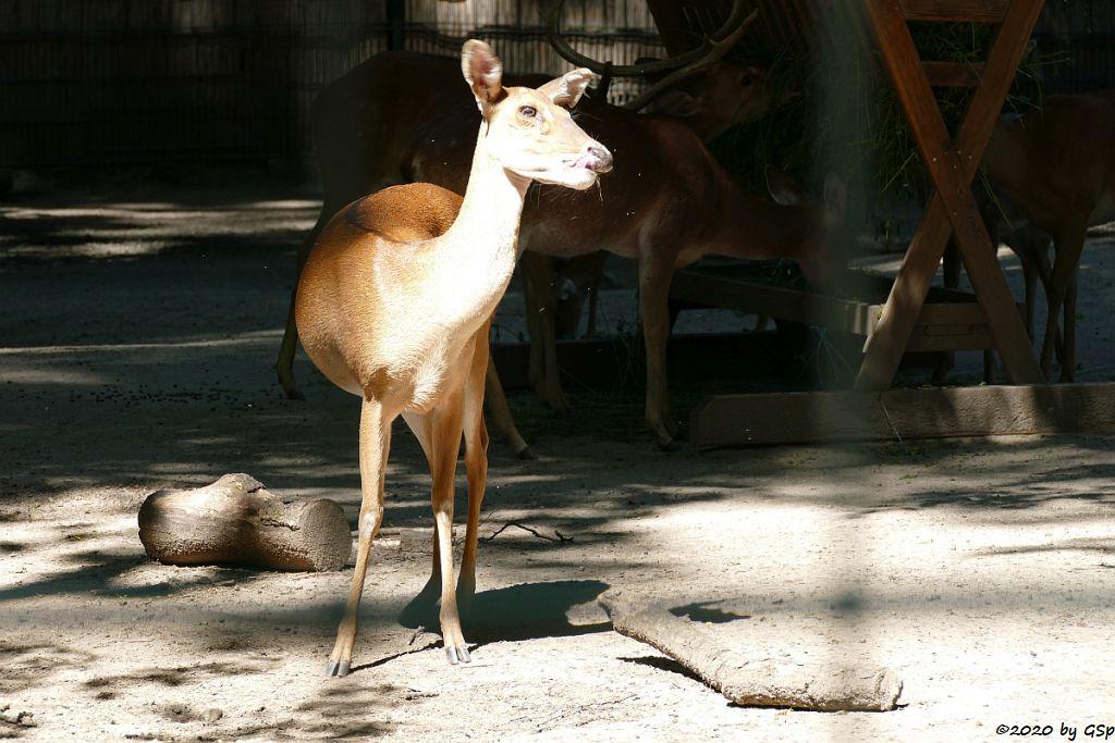 Burma-Leierhirsch (Thamin)
