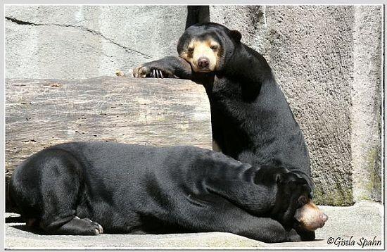 Malaienbär TEDDY und LOTYNKA