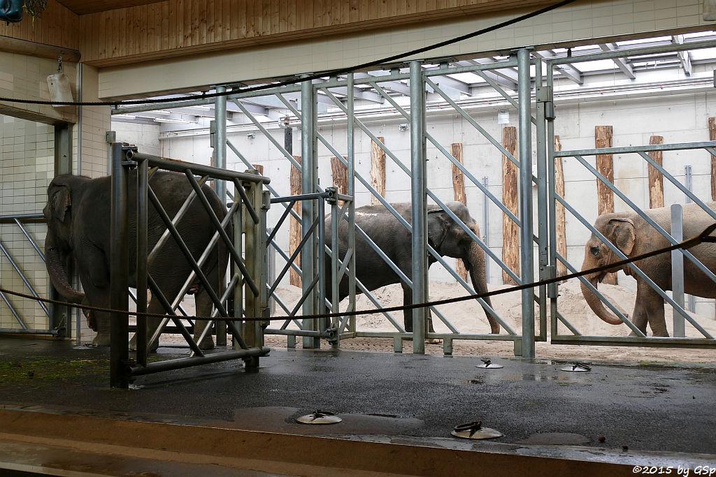 Asiatischer Elefant  JENNY, RANI und SHANTI
