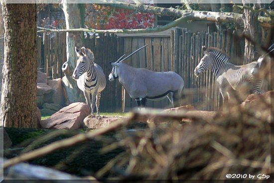 Grévy-Zebra, Südafrikanischer Spießbock