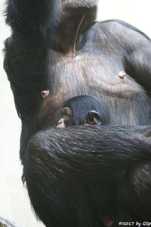 Westafrikanischer Schimpanse KITOKO mit Sohn OBAYE, geb. am 27.9.17
