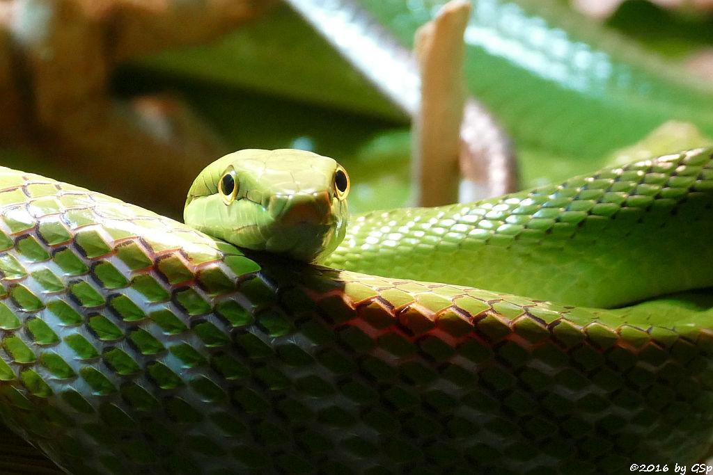 Grüne Spitzkopfnatter (Rotschwanznatter)