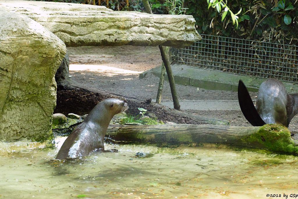 Südamerikanischer Riesenotter