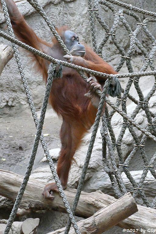 Sumatra-Orang-Utan DOKANA