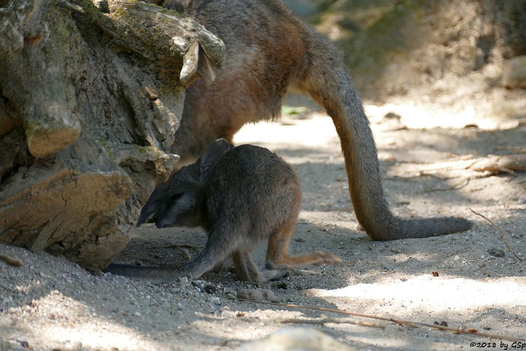 Tammarwallaby (Derbywallaby, Damakänguru)