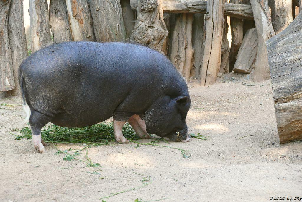 Vietnamesisches Hängebauchschwein