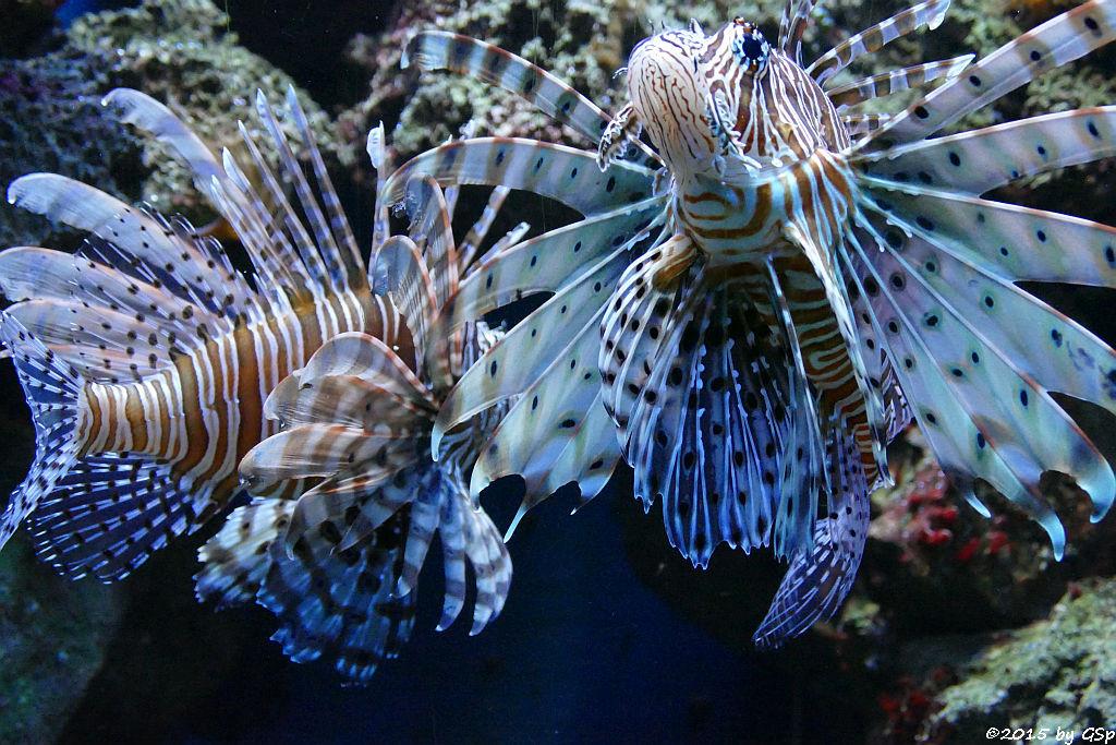 Pazifischer Rotfeuerfisch (Eigentlicher Feuerfisch)