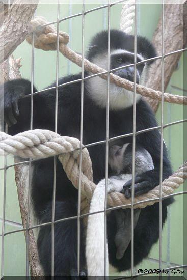 Kikuyu-Guereza, Jungtier geb. am 20.02.09 (9 Wochen alt)