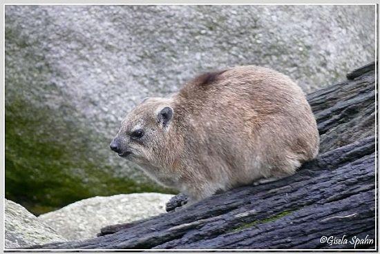 Kap-Klippschliefer