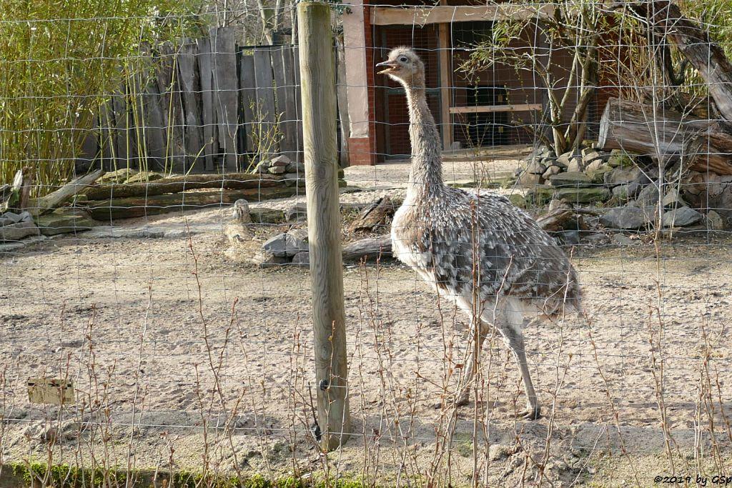 Darwinnandu (Kleiner Nandu, Darwinstrauß)