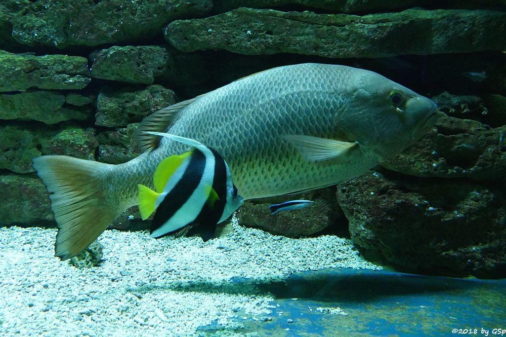 Spitzschnauziger (Gemeiner) Wimpelfisch (Geißler), Kupferschnapper