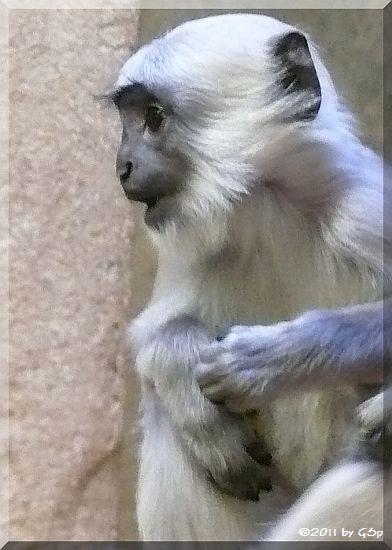 Hulman (Hanuman-Langur)