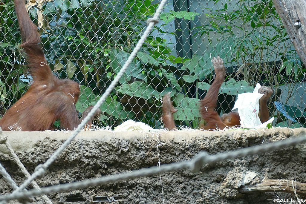 Sumatra-Orang-Utan INDAH und SAYAMG