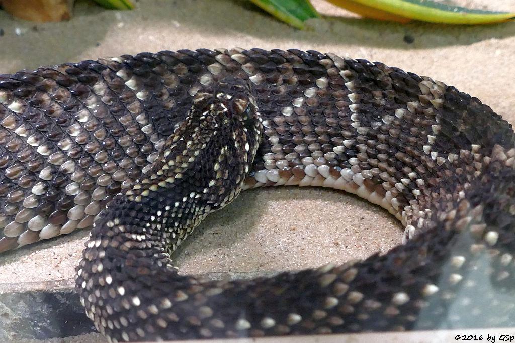 Schauerklapperschlange (Tropische Klapperschlange)