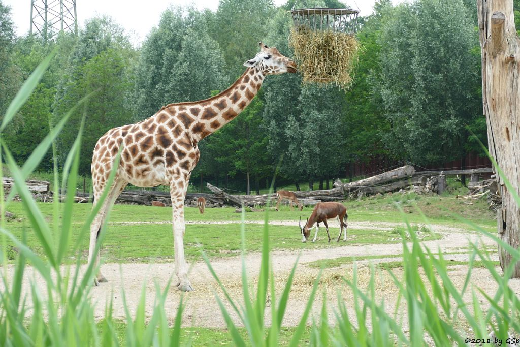 Rothschildgiraffe (Uganda-Giraffe, Baringo-Giraffe), Blessbock, Gewöhnliche Impala (Schwarzfersenantilope)