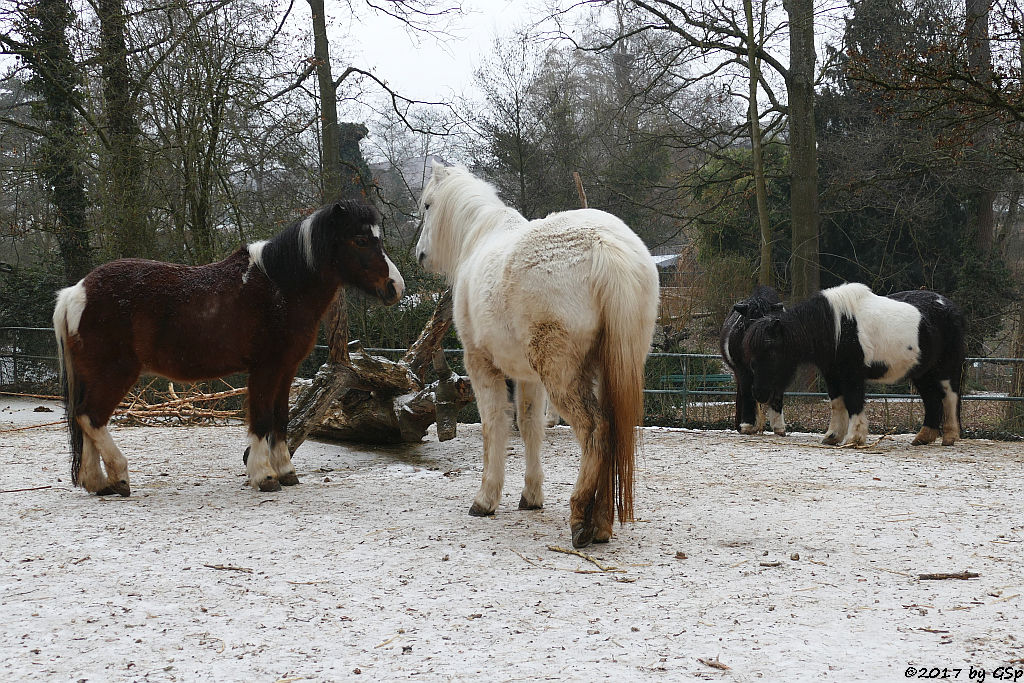 Welsh-Pony, Shetlandpony