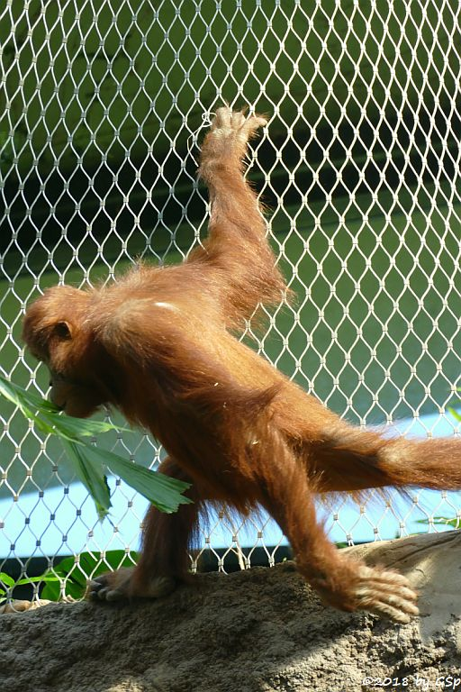 Sumatra-Orang-Utan INDAH