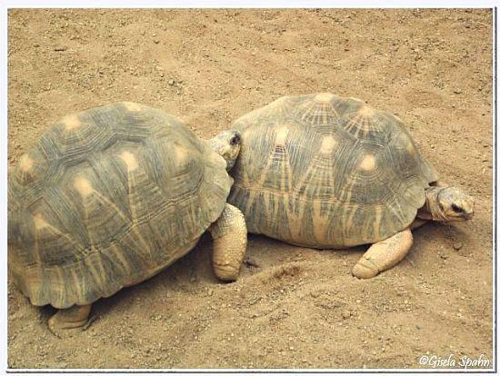Strahlen-Schildkröte