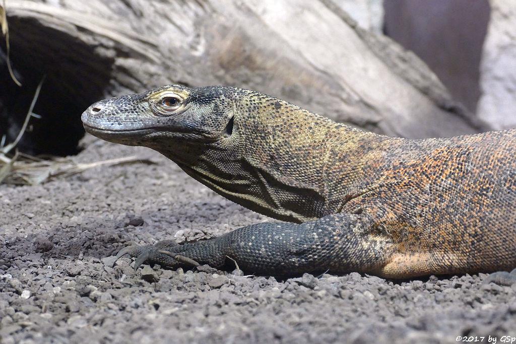 Komodo-Waran