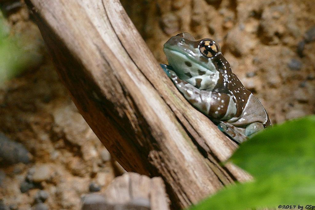 Baumhöhlen-Krötenlaubfrosch (Bunter Hölenlaubfrosch)
