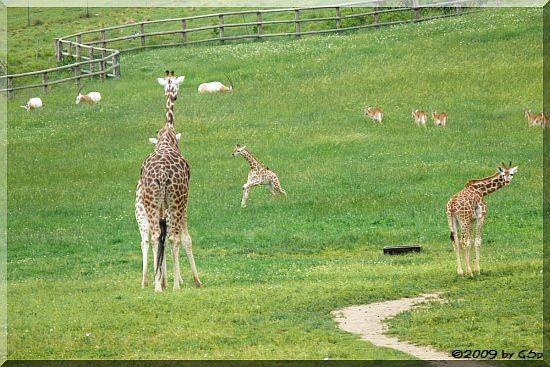 Rothschildgiraffe, Säbelantilope und Letschwe