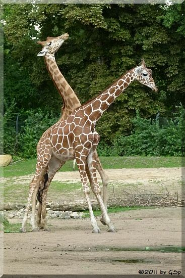 Netzgiraffe ULEMBO und Westafrikan. Giraffe (Kordofan-Giraffe) DIKO