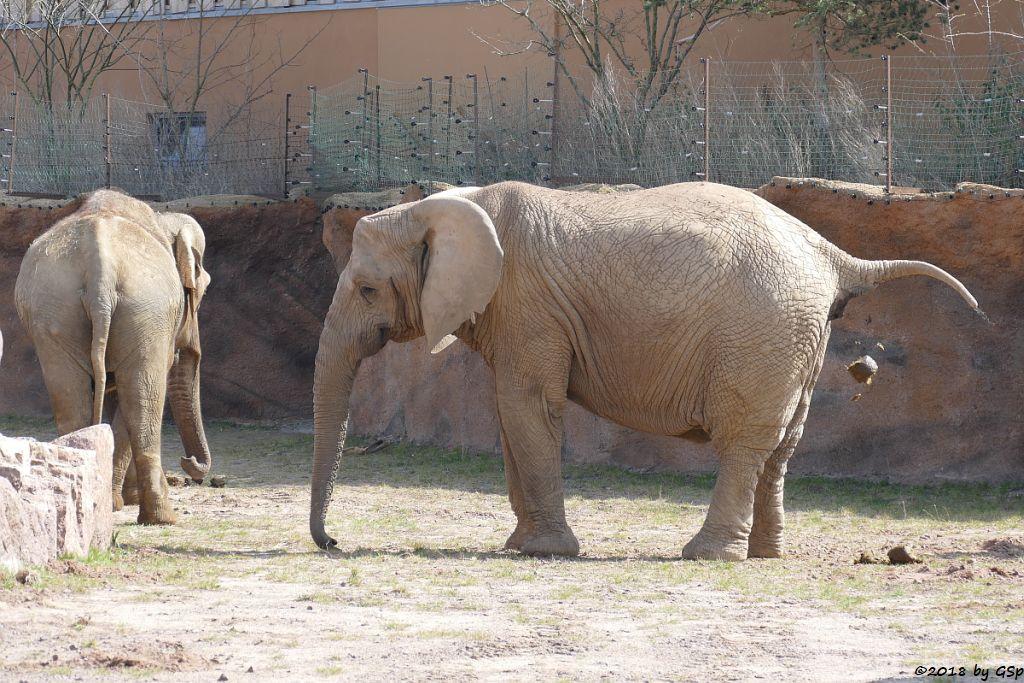 Asiat. Elefant BIRMA und Afrikanischer Elefant MWANA