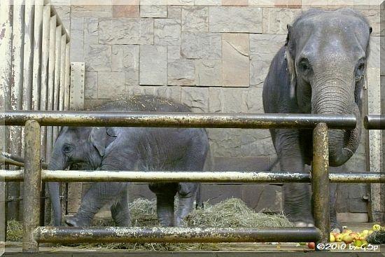 Asiatisches Elefantenmädchen THUZA, geb. 13.12.08