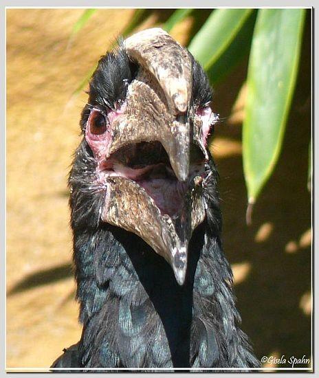 Trompeter-Hornvogel
