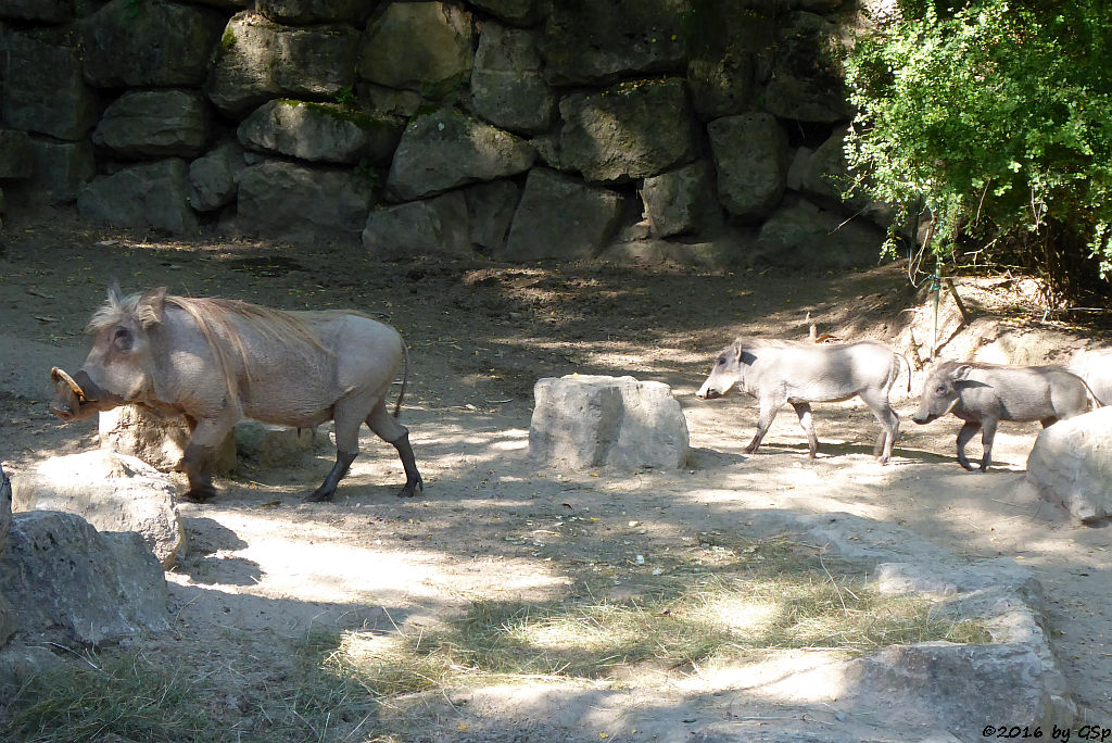 Warzenschwein, Jungtiere geb. am 5.5.16