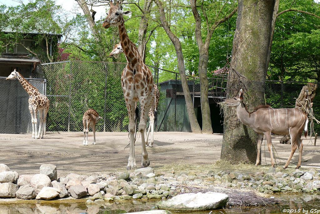 Rothschildgiraffe (NAKURU geb. am 10.04.15) , Großer Kudu