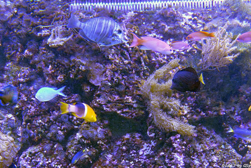 Schwarzstreifen-Doktorfisch, Glänzender Fahnenbarsch (Zwergfahnenbarsch), Mauritius-Segelflossen-Doktorfisch,