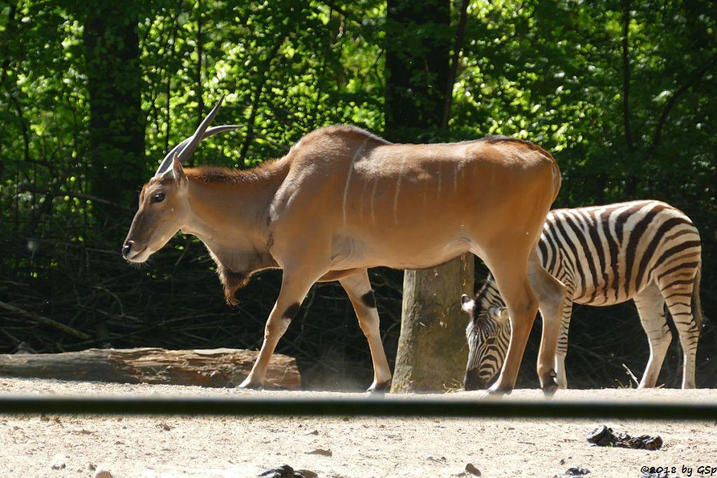 Elenantilope, Burchell-Steppenzebra (Damara-Steppenzebra)