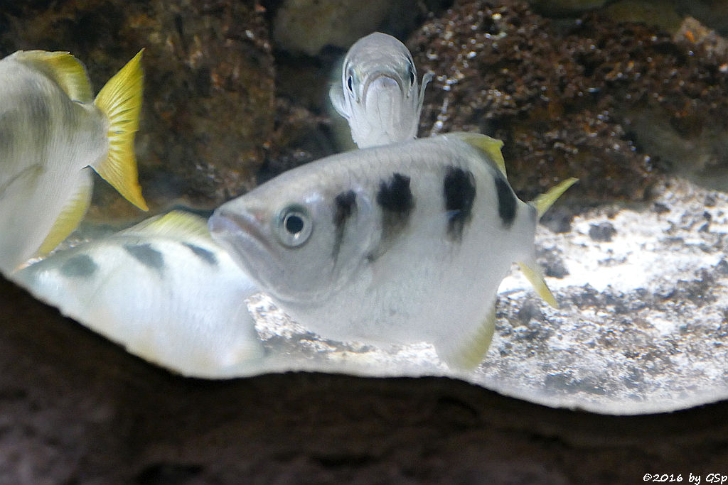 Gewöhnlicher Schützenfisch (Gebänderter Schützenfisch)