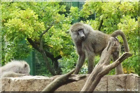 Gelber Pavian (Steppenpavian)