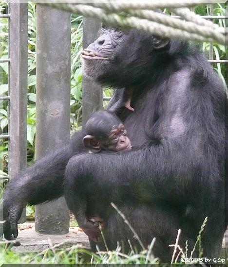 Schimpansin VAKANGA mit PANJA (geb.am 14.7.08) und erstgeb.Tochter KISHA