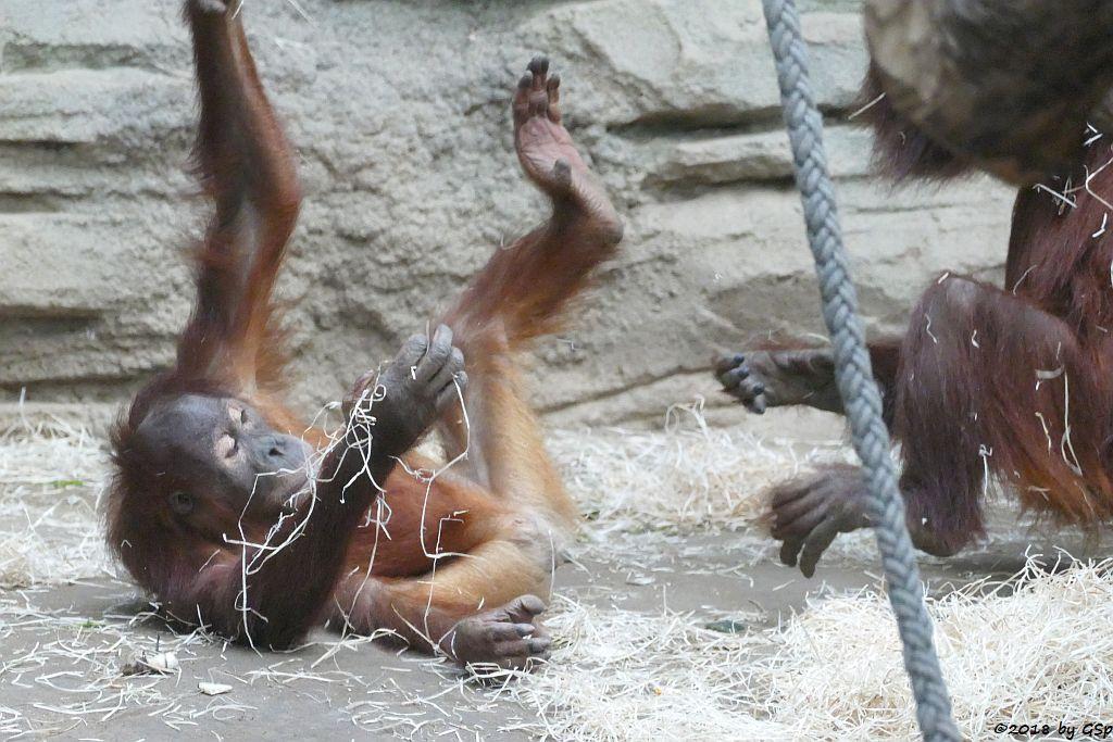Sumatra-Orang-Utan SAYANG, INDAH