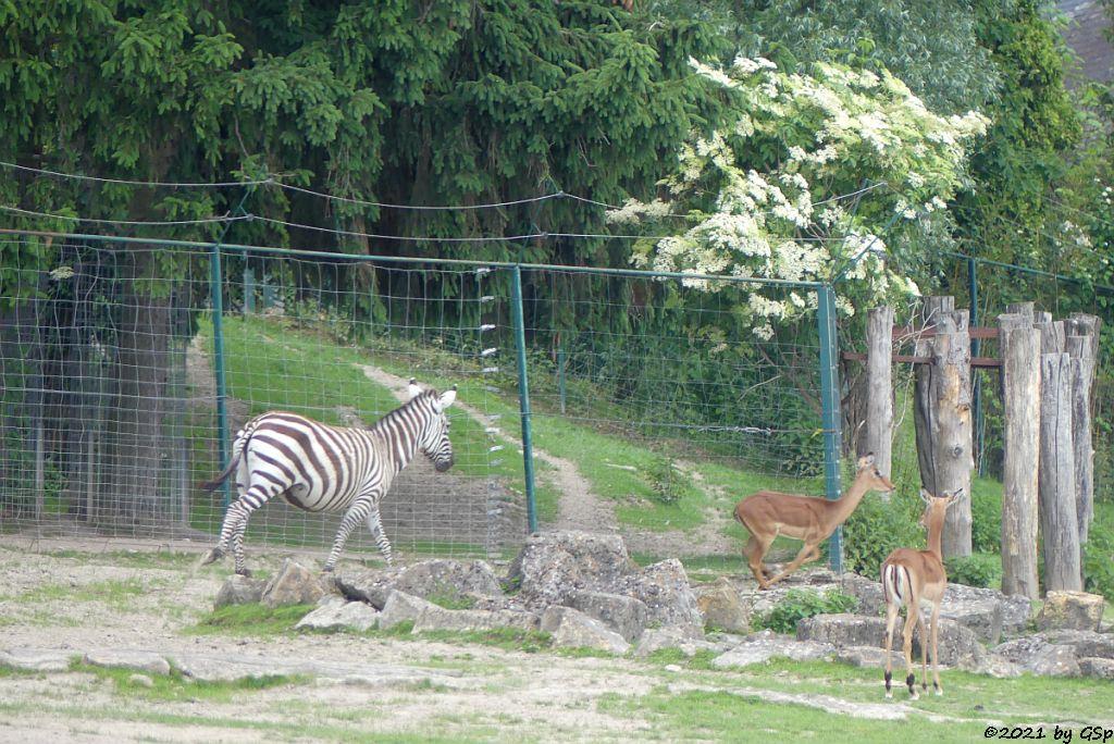 Böhm-Steppenzebra (Grant-Zebra), Impala (Schwarzfersenantilope)