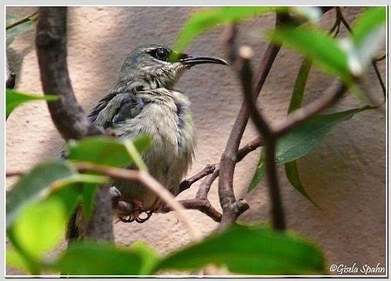 Türkisnaschvogel