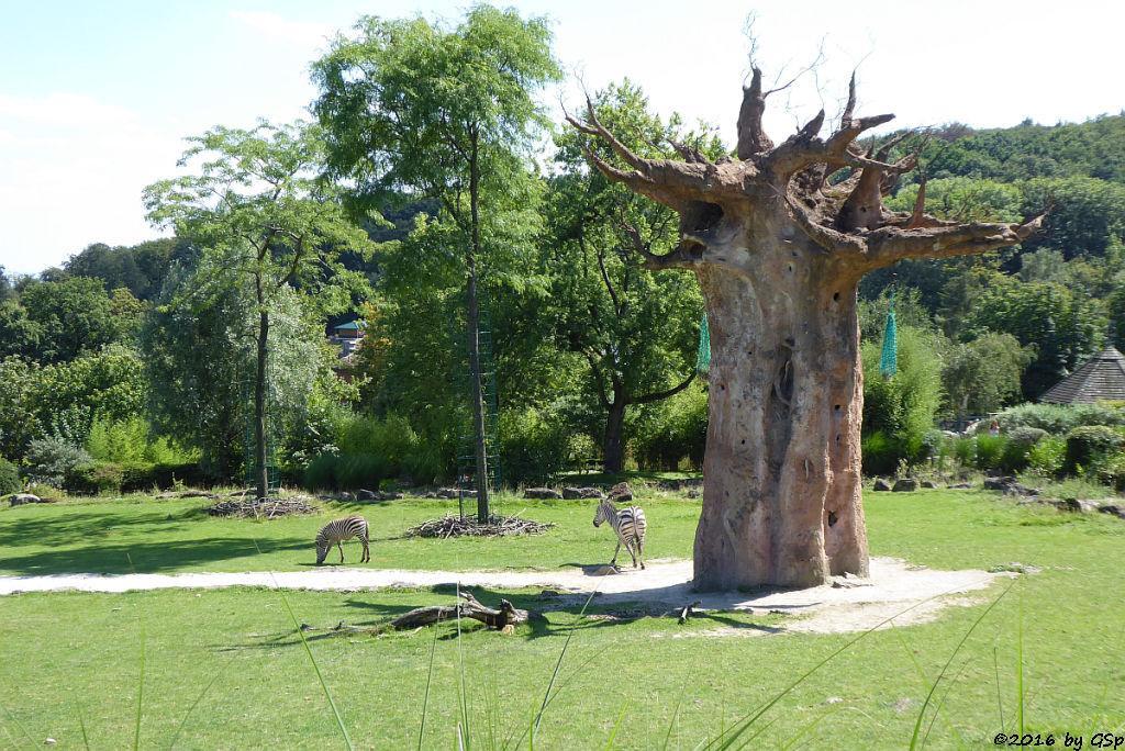 Böhm-Steppenzebra (Grantzebra)
