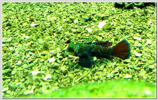 Mandarinfisch