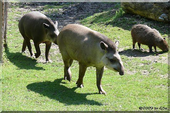 Capybara und Flachlandtapir