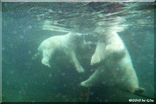 Eisbär ARKTOS und SPRINTER