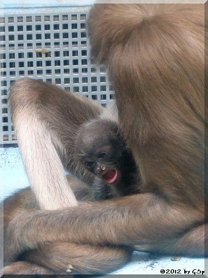 Goldstirnklammeraffe OCANA mit ihrem Baby (geb.19.10.12)