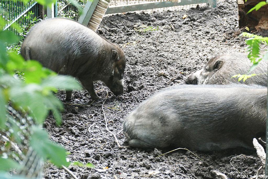 Negros-Pustelschwein (Visayas-Pustelschwein, Visayas Mähnenschwein)