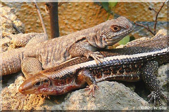 Madagaskar-Leguan und Madagaskar-Schildechse